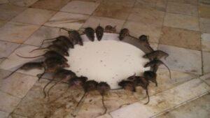 Le cose da vedere in Rajasthan tempio di topi